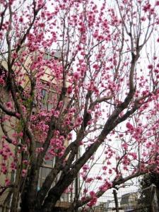花咲公園にて/花桃