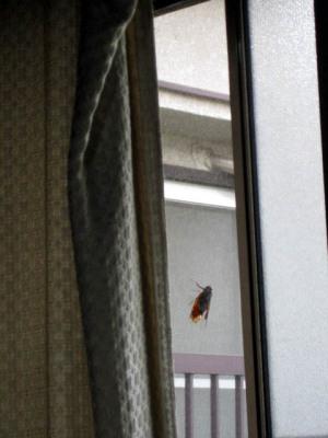 網戸に飛んできた蝉