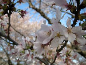 桜満開/昭和記念公園